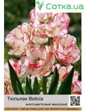 Тюльпан бахромчатый Belicia
