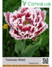 Тюльпан бахромчатый Brest