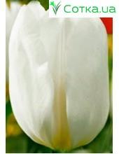 Тюльпан DarwiSnow