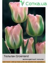 Тюльпан Groenland