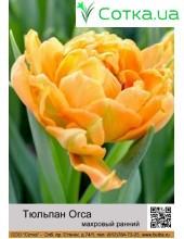 Тюльпан махровый ранний Orca