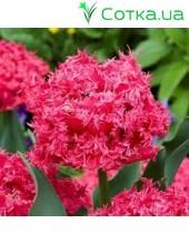 Тюльпан бахромчатый Kingston