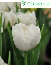 Тюльпан махровый ранний Northcap