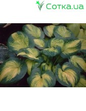 Хоста (Hosta) Brother Stefan
