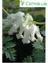 Дицентра (Dicentra) Ivory Hearts®