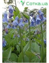 Мертензия (Mertensia) siberica