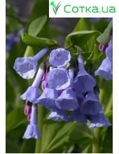 Мертензия (Mertensia) virginica