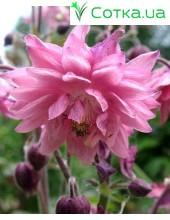 Аквилегия (Aquilegia)Barlow Pink