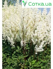 Астильба гибридная (Astilbe hybr.)	Happy Day®