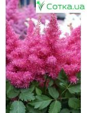 Астильба гибридная (Astilbe hybr.)Raspberry®