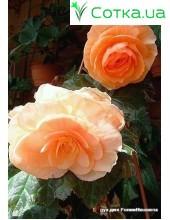 Бегония (Begonia) Cascade Odorosa White Blush