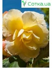 Бегония (Begonia) Cascade Odorosa Yellow Flame