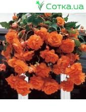 Бегония ампельная (pend.)Cascade orange
