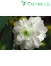 Бегония ампельная (pend.) Cascade white