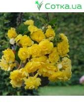 Бегония ампельная (pend.) Cascade yellow