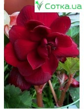 Бегония (Begonia) Double dark red