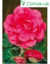 Бегония (Begonia) Double pink