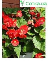 Бегония (Begonia) Maxima Zwitserland