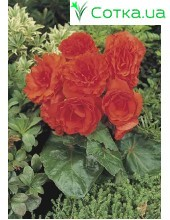 Бегония (Begonia) Non Stop orange