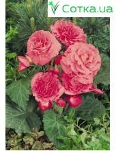 Бегония (Begonia) Non Stop pink