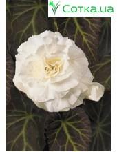 Бегония (Begonia) Non Stop white