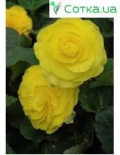 Бегония (Begonia) Non Stop yellow