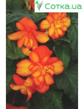 Бегония ампельная (pend.)Pendula orange