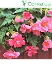 Бегония ампельная (pend.)Pendula pink