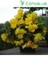 Бегония ампельная (pend.) Pendula yellow