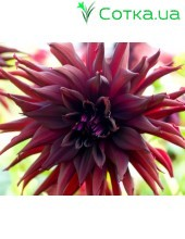 Георгина полу-кактусовая (semi cactus)Black Narcissus