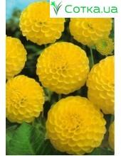 Георгина шаровидная Deepest Yellow