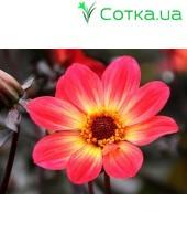 Георгина одноцветковаяHS Flame
