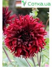 Георгина кактусовая, крупноцветковая Kenora Macop-B