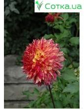 Георгина кактусовая, крупноцветковая Myrtle's Folly