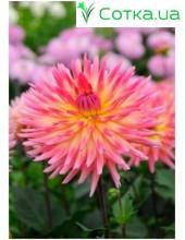 Георгина кактусовая, крупноцветковаяPopular Guest