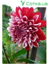 Георгина кактусовая, крупноцветковая Red & White Fubuki