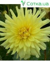 Георгина бордюрная, кактусовая Yellow Hapiness