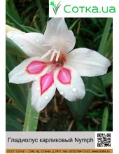 Гладиолус карликовый Nymph
