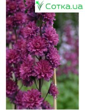 Дельфиниум (Delphinium) Highlander Morning Sunrise®