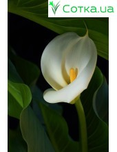 Калла(Zantedeschia)Aethiopica