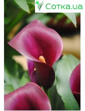 Калла(Zantedeschia) Allure
