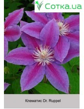 Клематис (Clematis) Dr. Ruppel