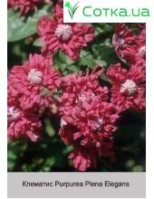 Клематис (Clematis) Purpurea Plena Elegans