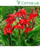 Канна (Canna)  Giant Red