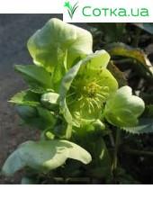 Морозник (Helleborus) argutifolius (corsicus)