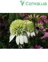 Эхинацея (Echinacea) Alaska®