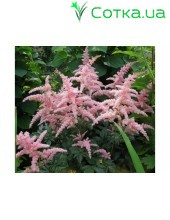 Астильба Арендса (Astilbe) (A) Bressingham Beauty
