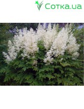 Астильба Арендса (Astilbe) (A) Close Harmony®