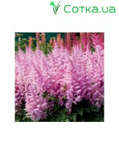 Астильба Арендса (Astilbe) (A) Ice Cream®