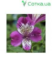 Альстромерия (Alstroemeria) Majestic Montsoreau®